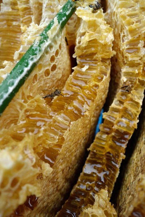 日本ミツバチの蜜採取_d0231263_23263633.jpg