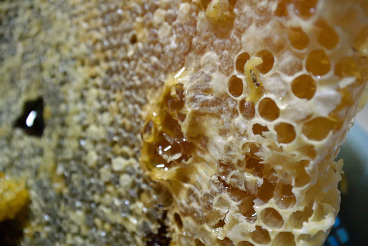 日本ミツバチの蜜採取_d0231263_2327279.jpg