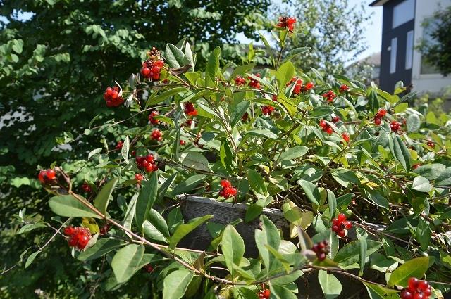 7月20-31日の庭。_c0124100_16041200.jpg