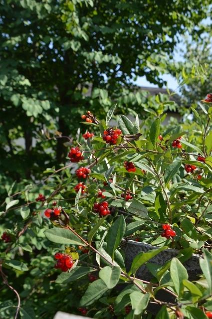7月20-31日の庭。_c0124100_16041714.jpg