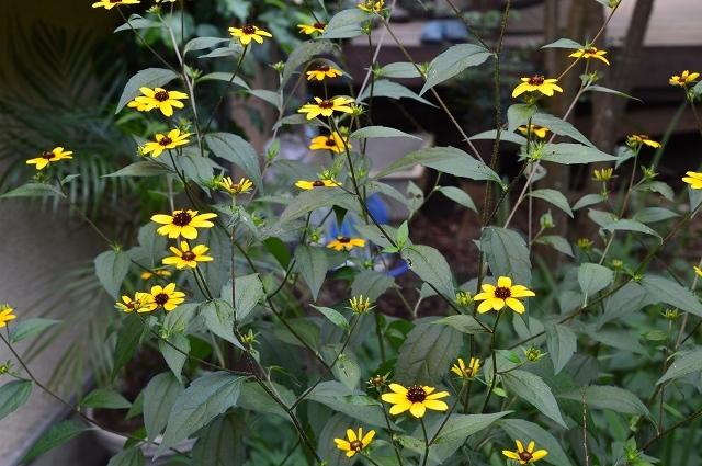 7月20-31日の庭。_c0124100_16042203.jpg