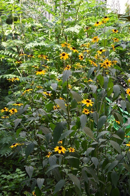 7月20-31日の庭。_c0124100_16042637.jpg