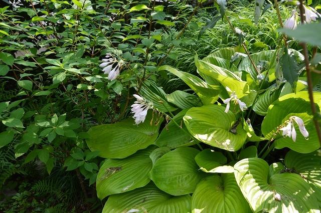 7月20-31日の庭。_c0124100_16043875.jpg