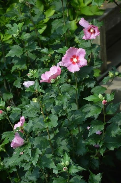 7月20-31日の庭。_c0124100_16052745.jpg