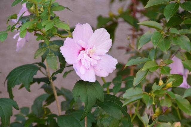 7月20-31日の庭。_c0124100_16053481.jpg