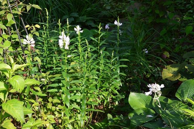 7月20-31日の庭。_c0124100_16064658.jpg