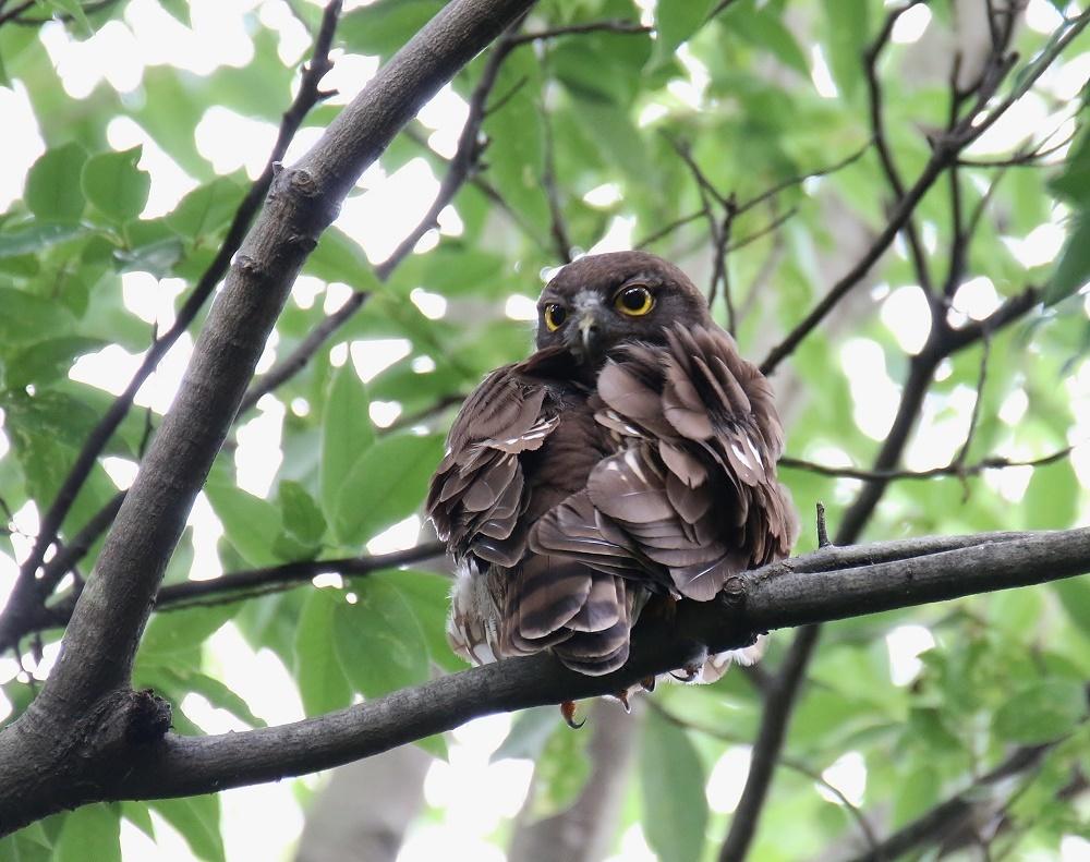 アオバの羽繕い姿、、_f0305401_18212706.jpg