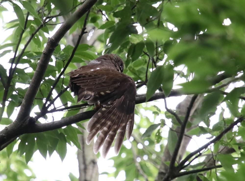 アオバの羽繕い姿、、_f0305401_18213625.jpg