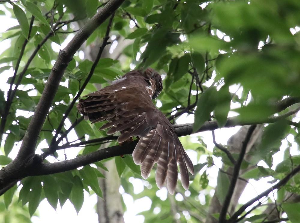 アオバの羽繕い姿、、_f0305401_18214754.jpg