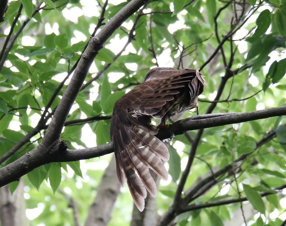 アオバの羽繕い姿、、_f0305401_18221835.jpg