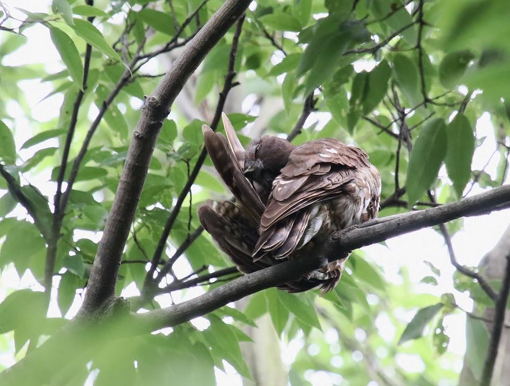 アオバの羽繕い姿、、_f0305401_18222795.jpg