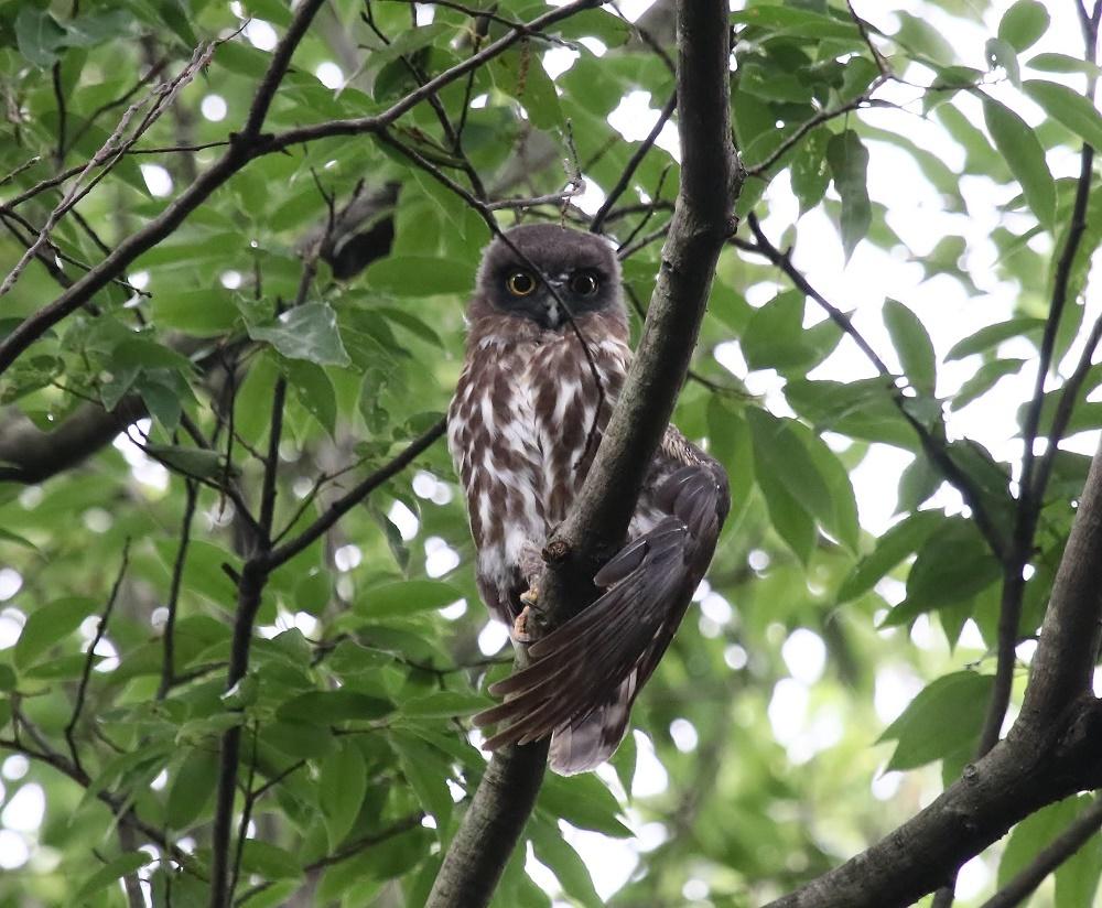 アオバの羽繕い姿、、_f0305401_18223710.jpg