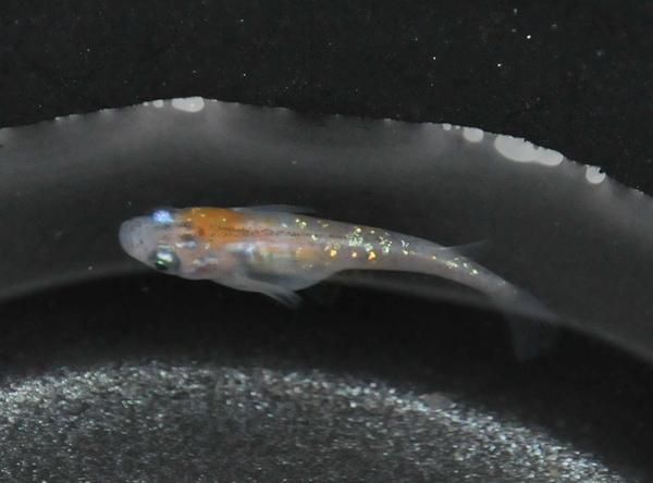 新系統三色ラメ幹之の先発隊若魚の中で_e0097534_1616785.jpg