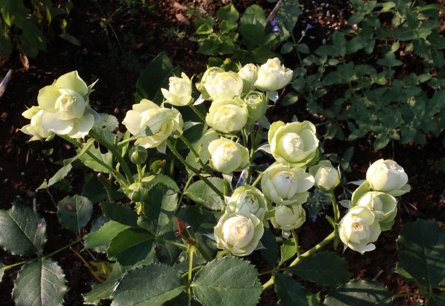 7月の終わり ~夏を告げる花々~_a0107574_18490570.jpg