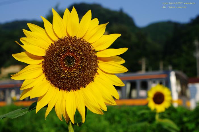向日葵の咲く_d0309612_22494319.jpg