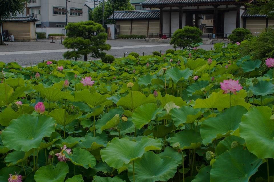 東寺~蓮_e0363038_14234348.jpg