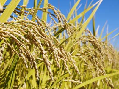 七城米 長尾農園 令和元年度のお米も美しく、元気に成長中!!平成30年度の『七城米』残りわずかです!_a0254656_19265917.jpg