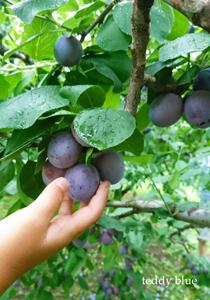 fresh prunes  フレッシュプルーン_e0253364_16012983.jpg