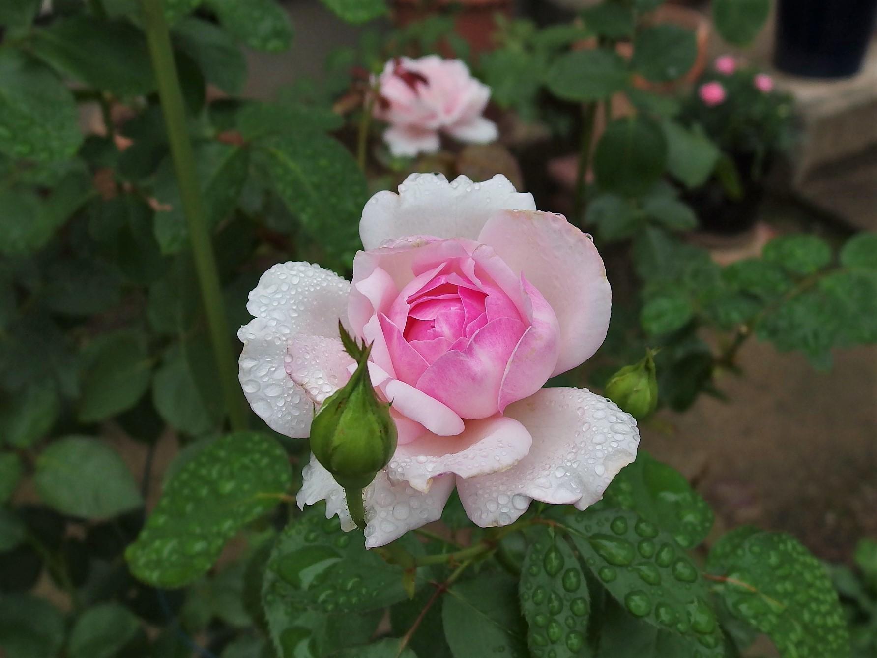 すばらしいバラです、エウリディ...