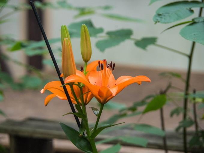 スカシユリ咲く、涼しい8月・・エゾリス君、もう冬支度?_f0276498_22094280.jpg