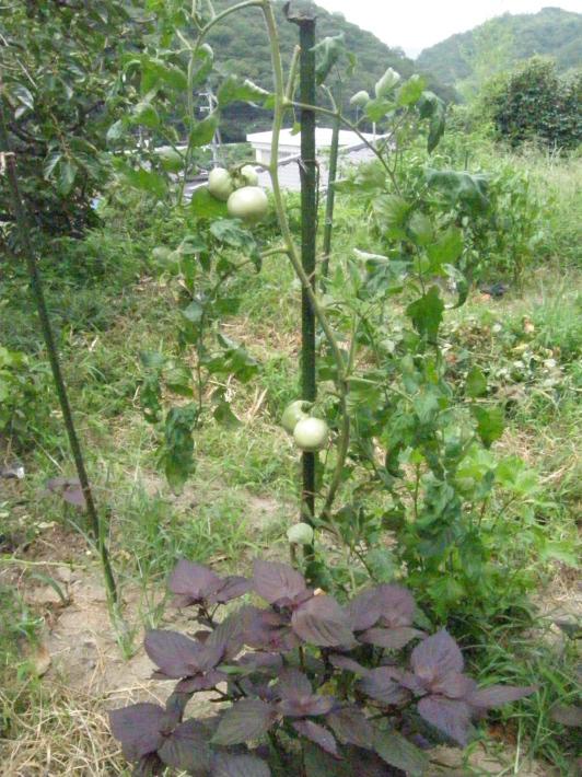 No 105  ひとり農作業(8月5日)_d0341514_21560172.jpg