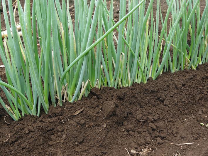 ネギに追肥し土寄せ&ダイコンの種蒔き準備8・3~4_c0014967_9342195.jpg