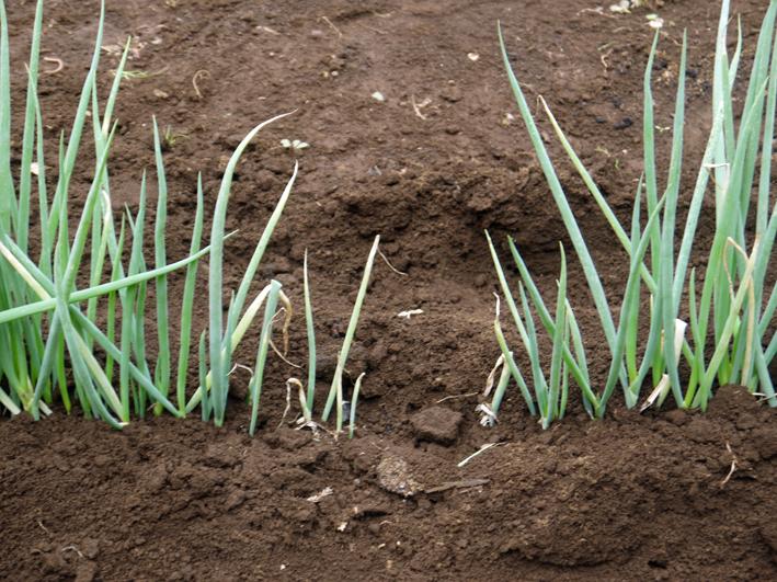 ネギに追肥し土寄せ&ダイコンの種蒔き準備8・3~4_c0014967_9343444.jpg