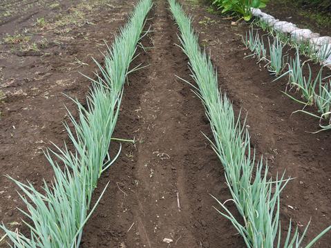 ネギに追肥し土寄せ&ダイコンの種蒔き準備8・3~4_c0014967_9344991.jpg