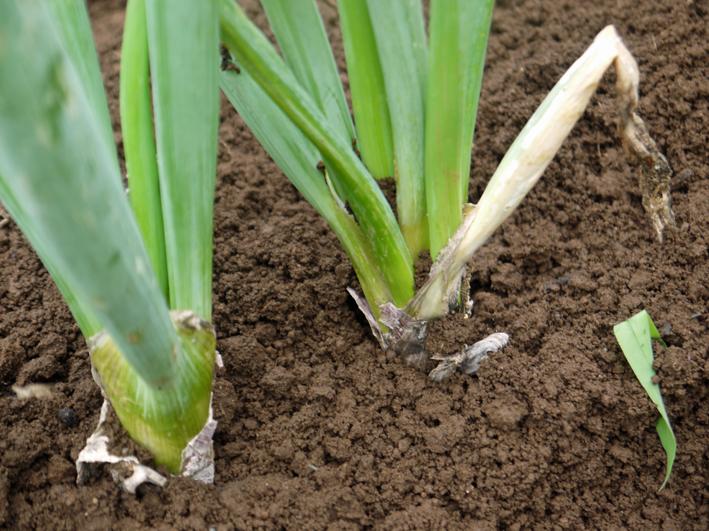 ネギに追肥し土寄せ&ダイコンの種蒔き準備8・3~4_c0014967_9351226.jpg