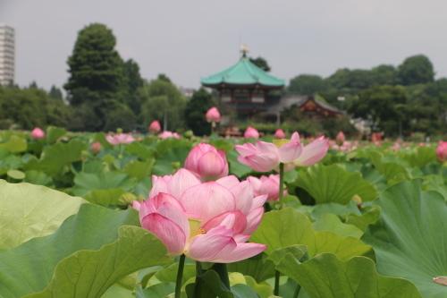 上野不忍池、蓮の花・・・2_c0075701_07051741.jpg