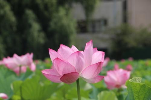 上野不忍池、蓮の花・・・2_c0075701_07052493.jpg