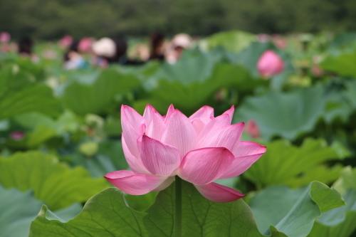 上野不忍池、蓮の花・・・2_c0075701_07053999.jpg