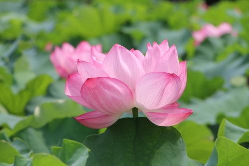 上野不忍池、蓮の花・・・2_c0075701_07060408.jpg