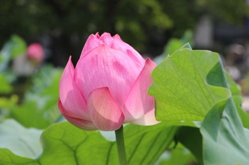 上野不忍池、蓮の花・・・2_c0075701_07061157.jpg