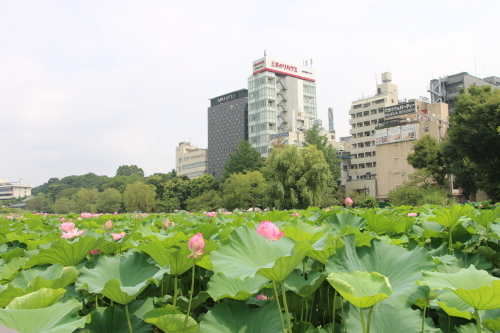 上野不忍池、蓮の花・・・2_c0075701_07061885.jpg