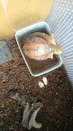 今年も…カンボジアモエギハコガメ産卵_f0253407_02043982.jpg