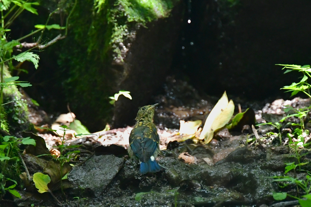 オオルリ幼鳥 その他の幼鳥_f0053272_17432130.jpg