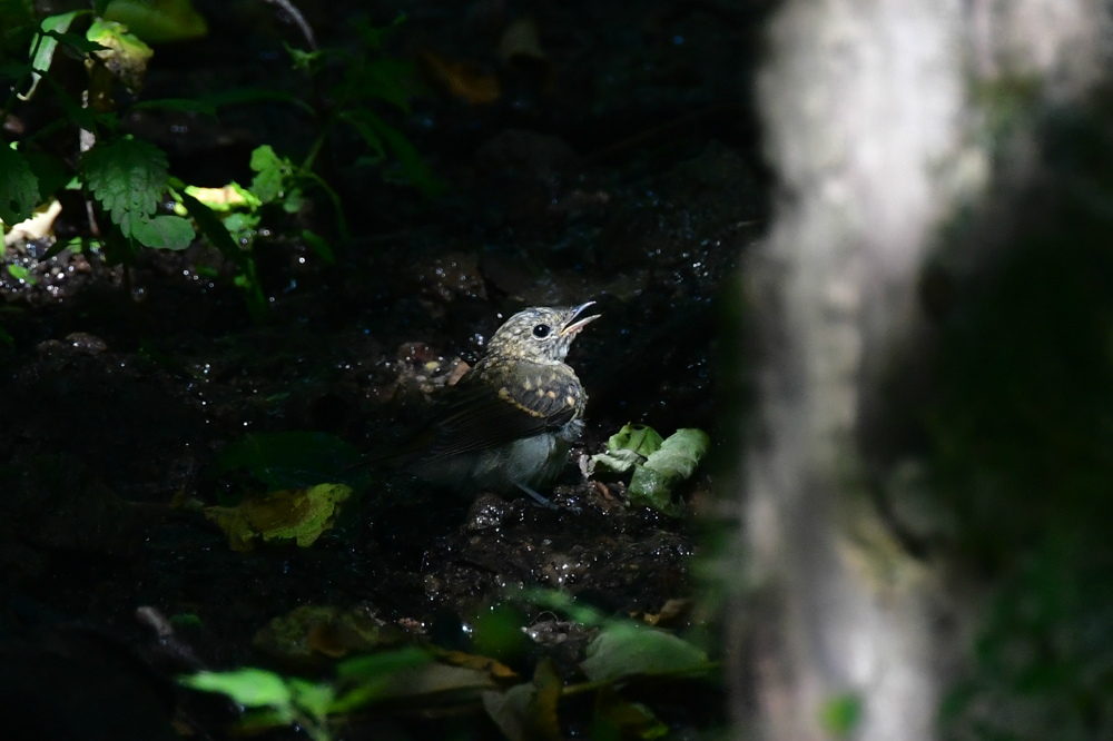 オオルリ幼鳥 その他の幼鳥_f0053272_18211474.jpg