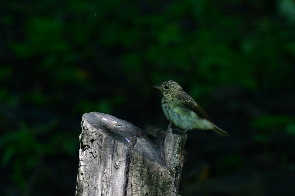 オオルリ幼鳥 その他の幼鳥_f0053272_18212229.jpg