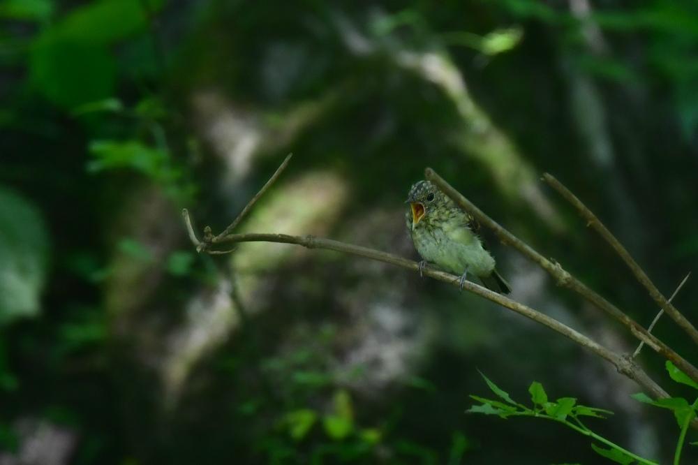 オオルリ幼鳥 その他の幼鳥_f0053272_18213972.jpg