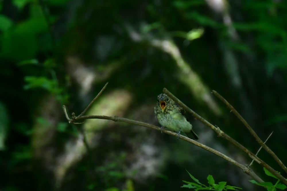 オオルリ幼鳥 その他の幼鳥_f0053272_18214304.jpg