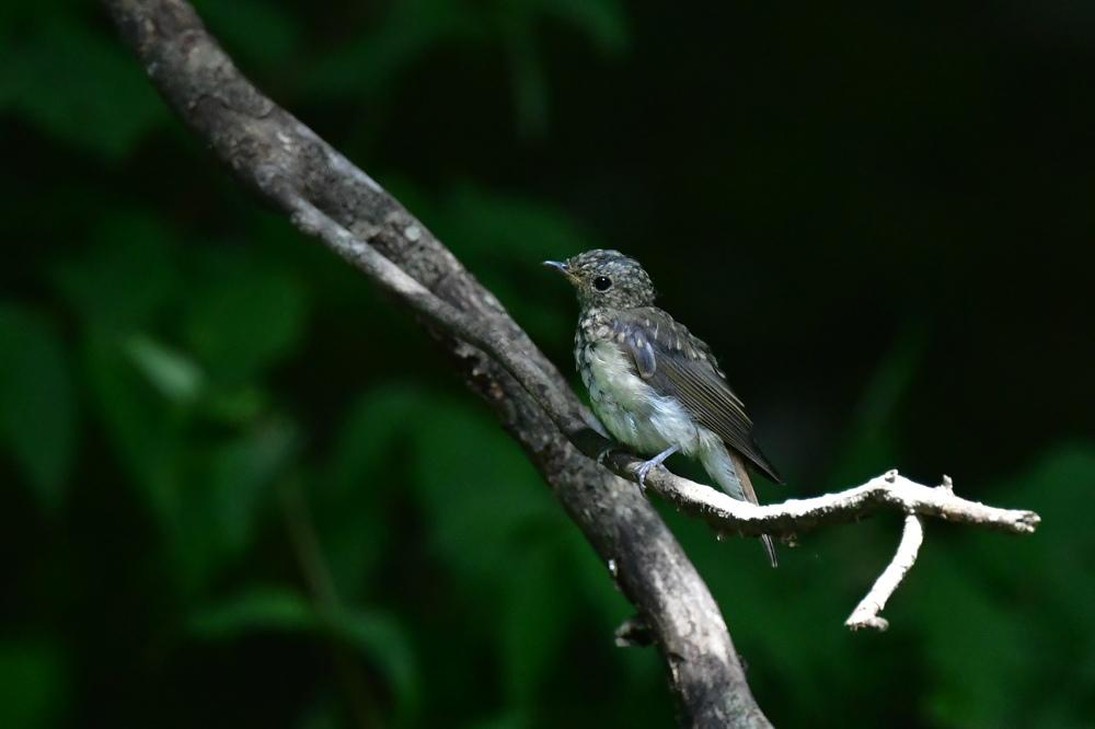 オオルリ幼鳥 その他の幼鳥_f0053272_18220533.jpg