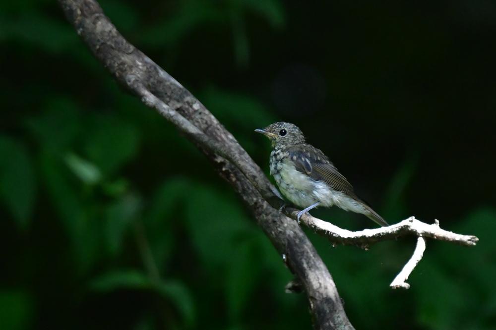 オオルリ幼鳥 その他の幼鳥_f0053272_18221088.jpg