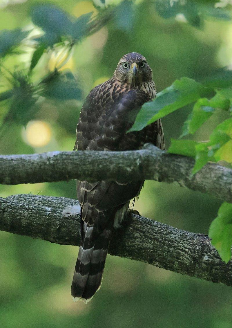オオタカ幼鳥の見返り美人?その2_f0105570_21355620.jpg