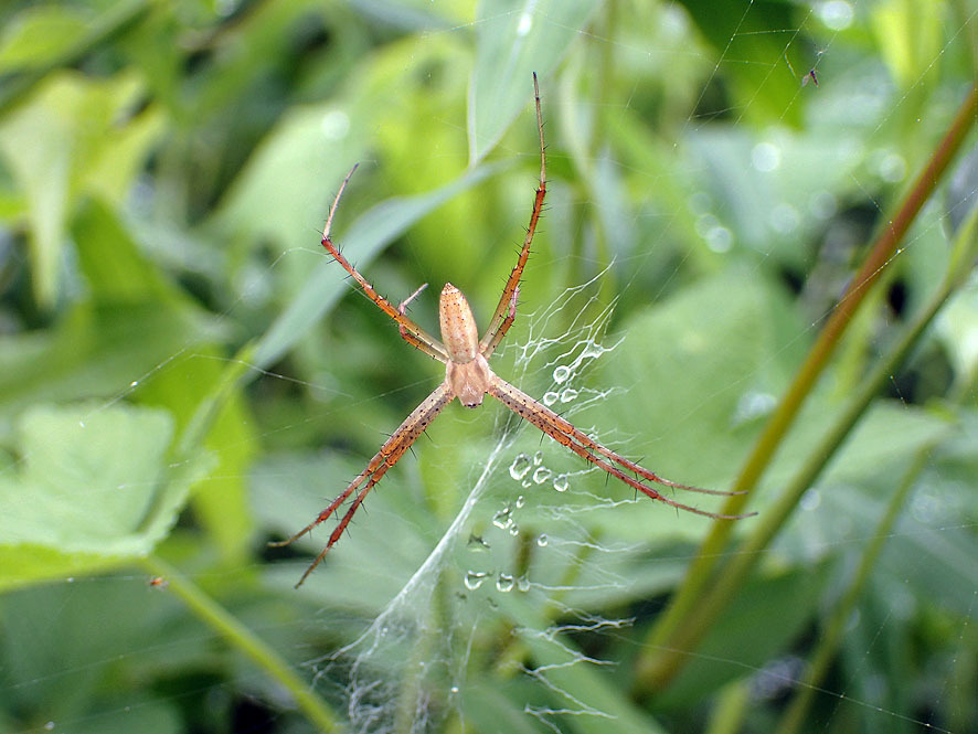 マルコ(湿地)のクモ_f0131669_15424395.jpg