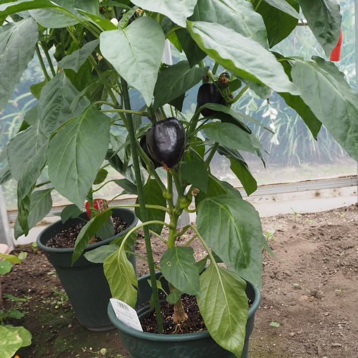 鉢植えの野菜たち_a0292194_161630.jpg