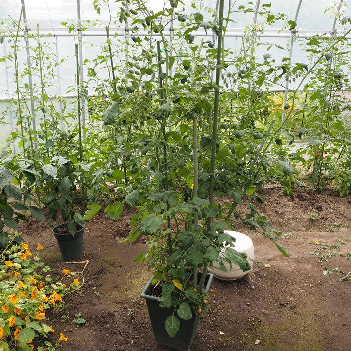 鉢植えの野菜たち_a0292194_1631017.jpg