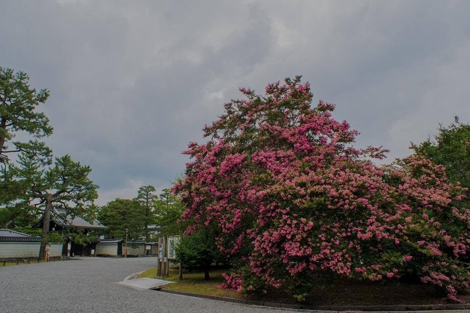 京都御所の百日紅_e0363038_21502349.jpg