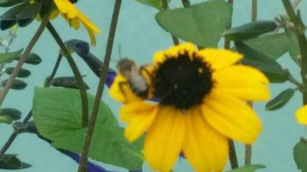 丘ばち8周年花壇にハッチが来ました_d0155439_11254682.jpg