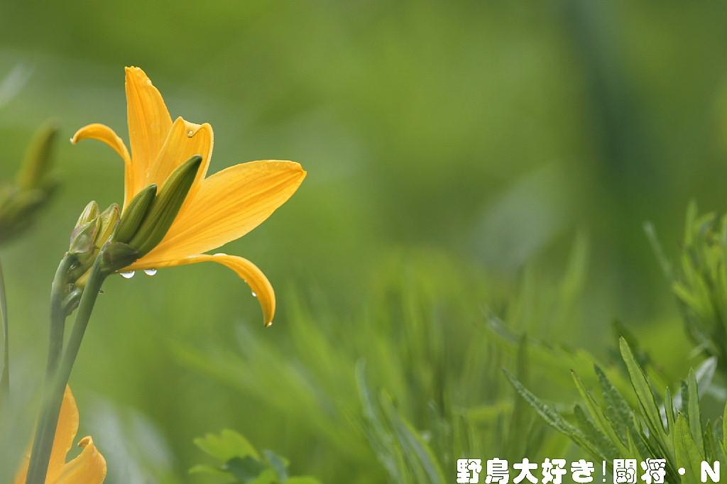 エゾカンゾウ_f0059882_17343130.jpg